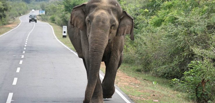 Wild elephant on the loose!