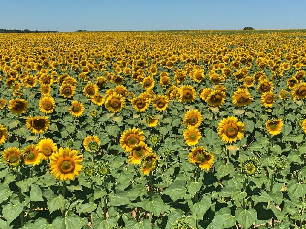 And turning into glorious fields of yellow