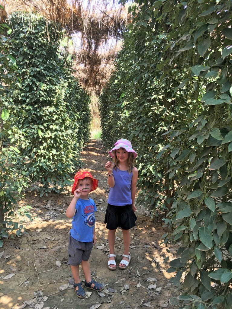 The pepper vines and kids holding the raw peppercorns