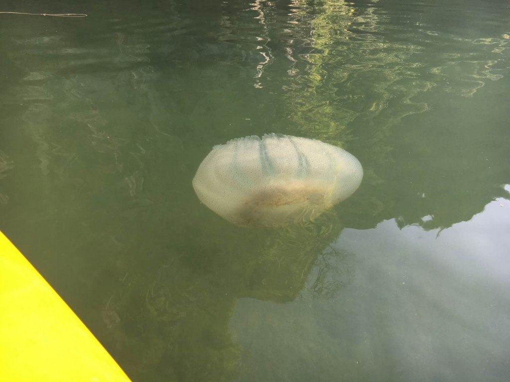 Giant jellyfish while kayaking in Halong Bay, Vietnam
