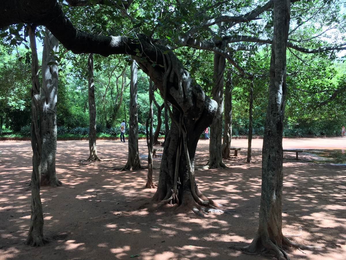 Sacred Banyan Tree at Auroville