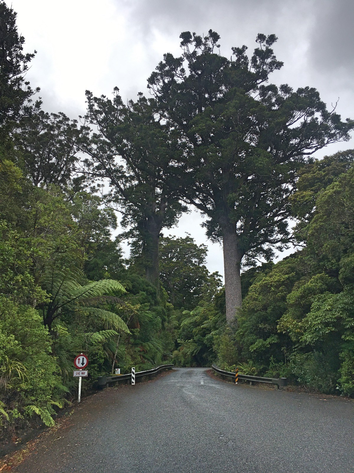 The road makes way for trees in the stunning Waipoua Forest