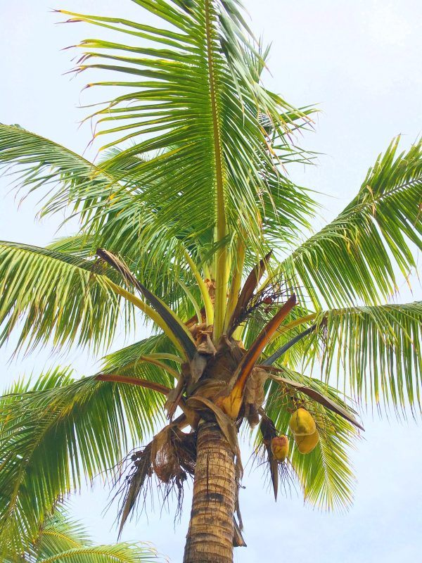 Coconut palms at south sea island fiji